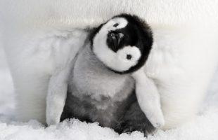 Letné kino   Putovanie tučniakov: Volanie oceánu
